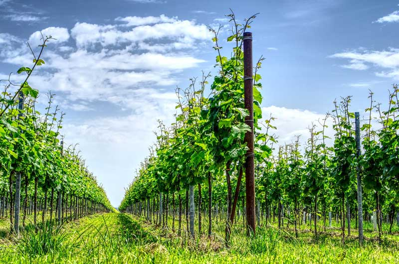 Domaine vinicole